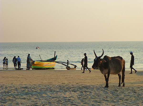 Cow on Beach (Goa)