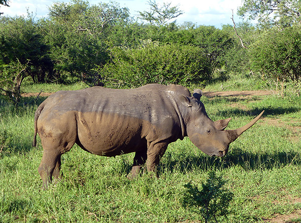 Rhino at Thornybush