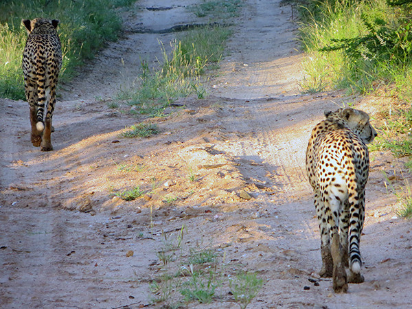 Cheetahs at Thornybush