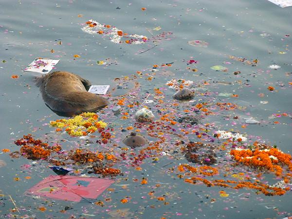 Dead Calf in the Ganges (Varanasi)