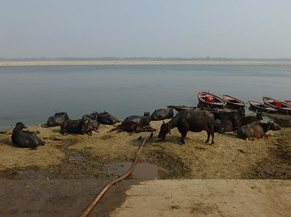 Buffalo near the Ganges (Varanasi)