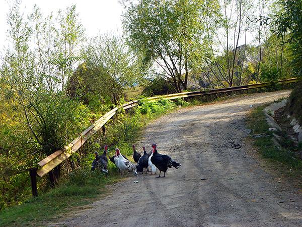 Turkeys in Romania