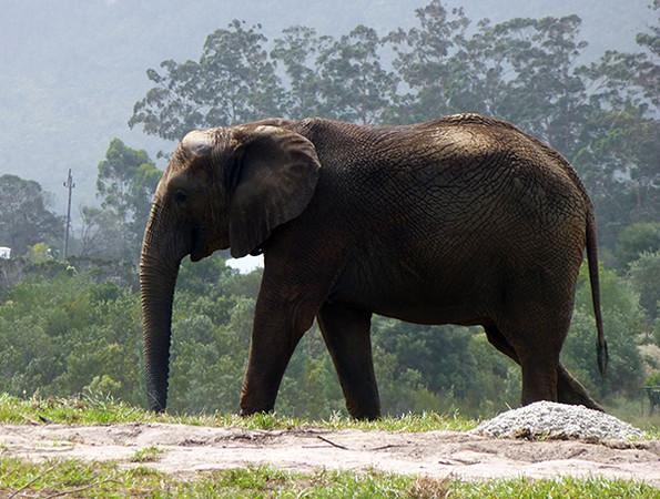 Elephant at Sanctuary, Plettenberg Bay
