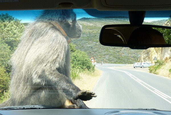 Baboon in South Africa