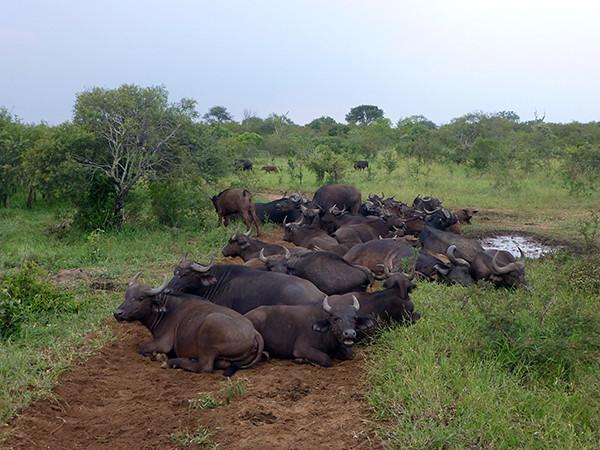 Buffalo at Thornybush