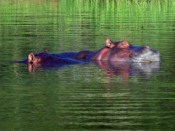 Hippopotamus at Thornybush