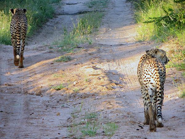 Cheetahs at Thornybush