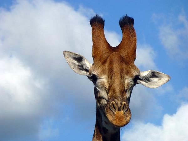 Giraffe at Thornybush